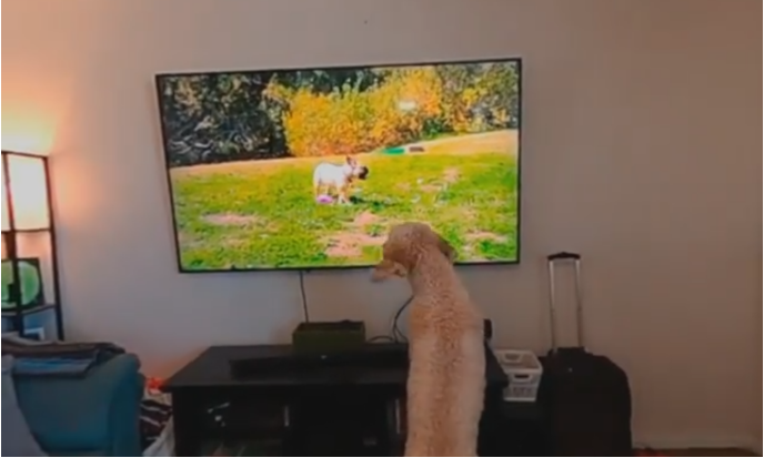 excited golden doodle watching dog tv